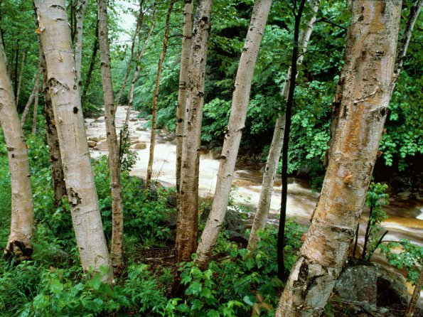 Paper Birch, White Mountains, New Hampshire